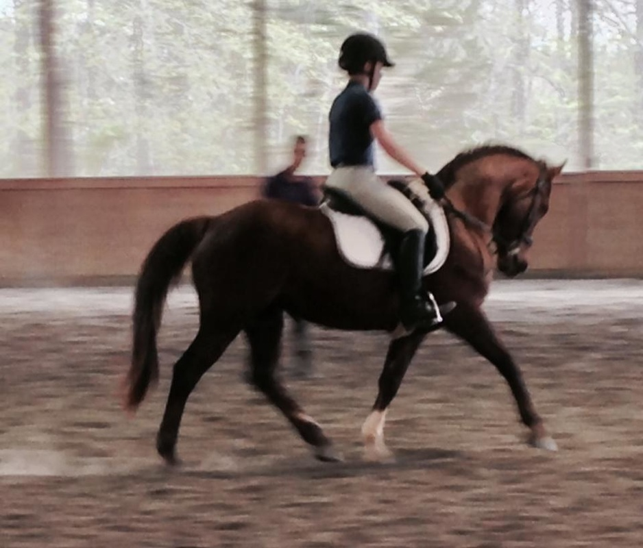 Cash Advance Hanoverian For Sale